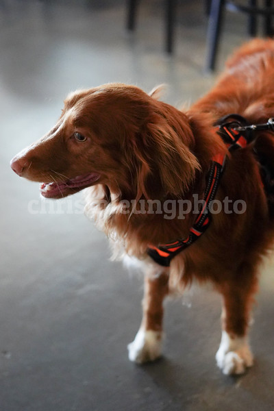 8/3/18:  Pedro Point Brewing  in Pacifica, Ca by Chris M. Leung.  All Rights Reserved. Image created by Chris M. Leung 2018<br /> <br /> Kona the Novia Scotia Duck Tolling Retriever