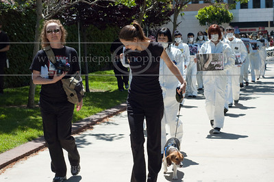 ARP-042511_1019w  Animal rights protestors wearing costumes and surgical masks carrying anti vivisection signs protest animal testing in laboratories during World Week for Animals in Laboratories at UCLA in Los Angeles, CA 04/25/2011. A beagle dubbed Freedom upon his rescue from a laboratory wherein he was subjected to toxity testing leads the protestors. (Mandatory photo credit ©Laurie Paladino)  All Rights Reserved. No usage of any kind without written permission and compensation to www.lauriepaladinophotography.com
