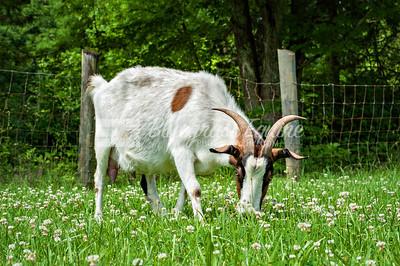 J_goat_yoga-3546
