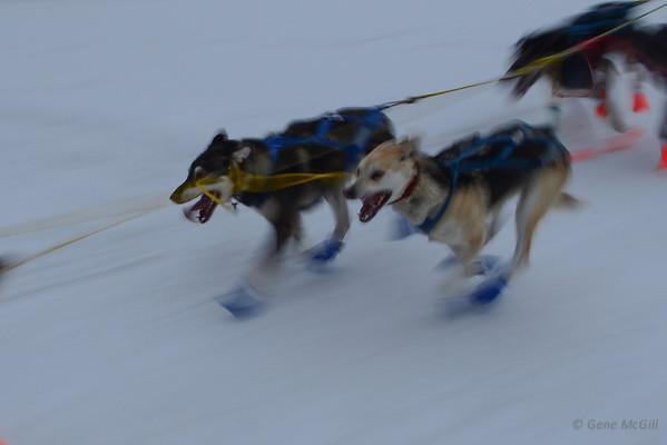 2014 Yukon Quest Sled Dog Race Start