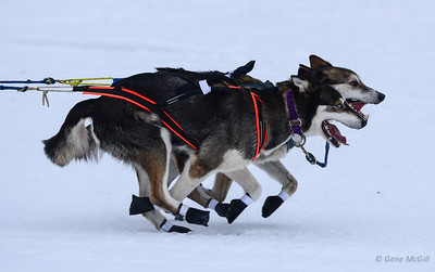Yukon Quest Start, Fairbanks, Alaska