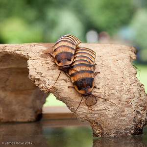 Madagascan hissing cockroaches