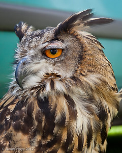 Amber the Eurasian eagle owl