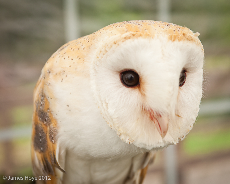 Tinkerbell the barn owl