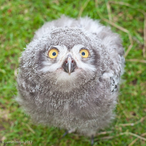 Snowy owl chick - around 5 weeks old