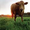 MOOve: Cow outside of Hore Abbey in Cashel, Ireland