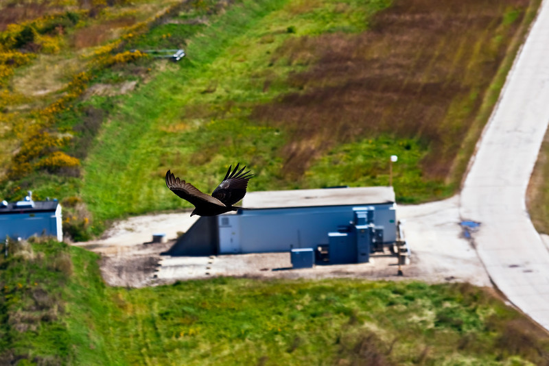 A turkey vulture soars above the Tevatron A2 service building late in the morning of September 30, 2011.  The final collider store spins in the Tevatron 30+ feet under ground.