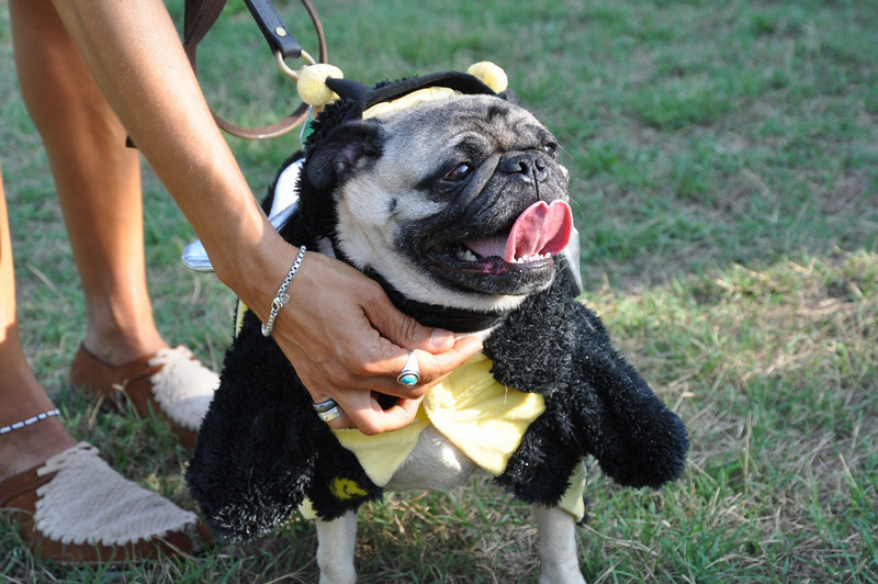 Winner Best in Show Cesar Augustus Gutierrez-Chestnut Oaks Pug aka Bumble Bee today!