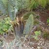 pua kala seed pods