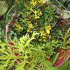 Kōʻokoʻolau (Bidens macrocarpa) and wawaeiole (Lycopodium cernua)