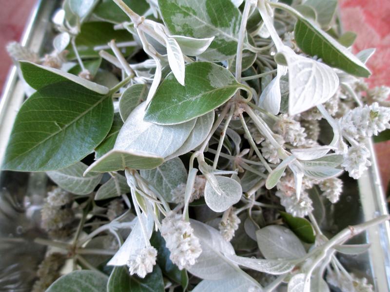 Kului (Nototrichium sp)