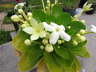 Pua 'ala,  Brighamia rockii - species from Molokai.