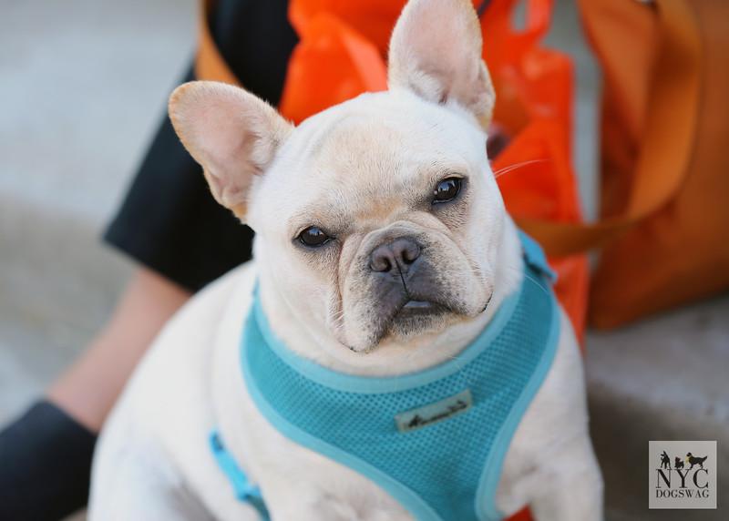 Willa | French Bulldog
