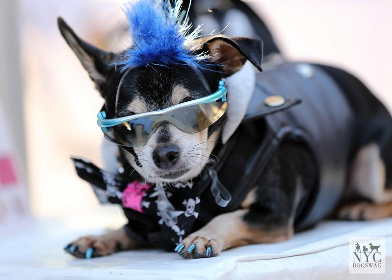 Bleu | Chihuahua
