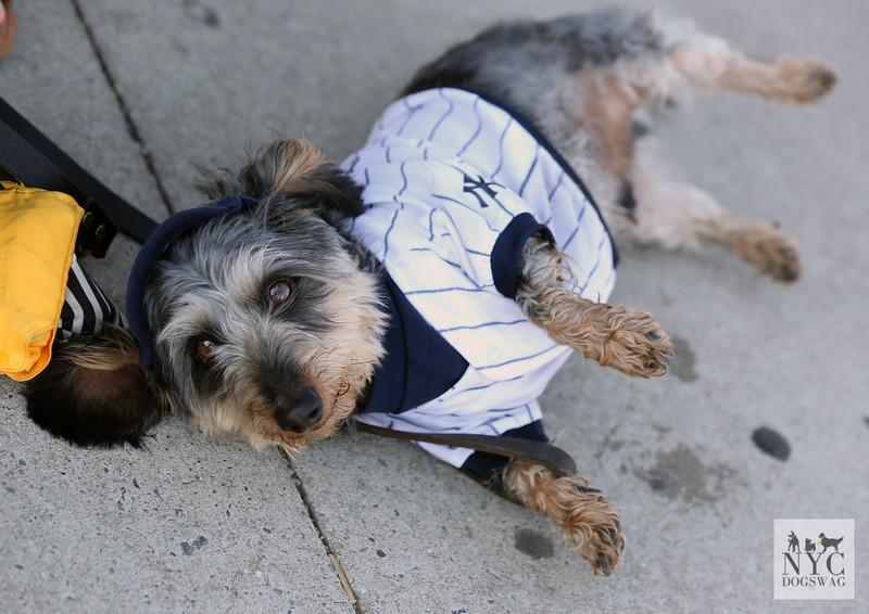 Toby | Yorkshire Terrier