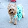 Pixie | Yorkshire Terrier