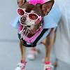 Chi Latte | Chihuahua