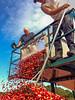 Cranberry Harvest, Harwich