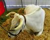 Giant Steer 2