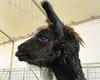 Black Goat?