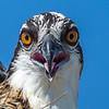 Osprey Juvenile