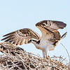 Osprey adult - almost appears to be scolding juvenile