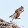 Osprey adult returning to the Nest