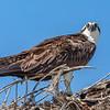 Osprey adult