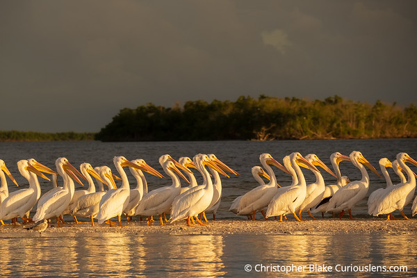 Great Egret's Lined Up