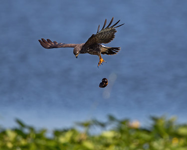 The Everglades Snail Kite