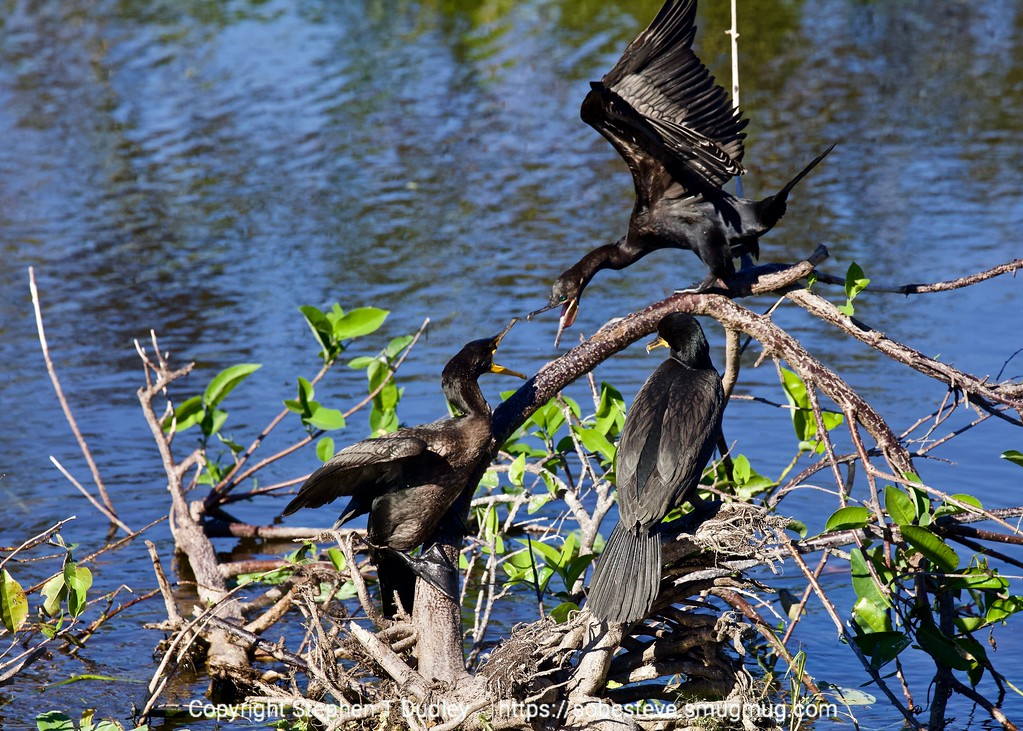 Cormorants 4