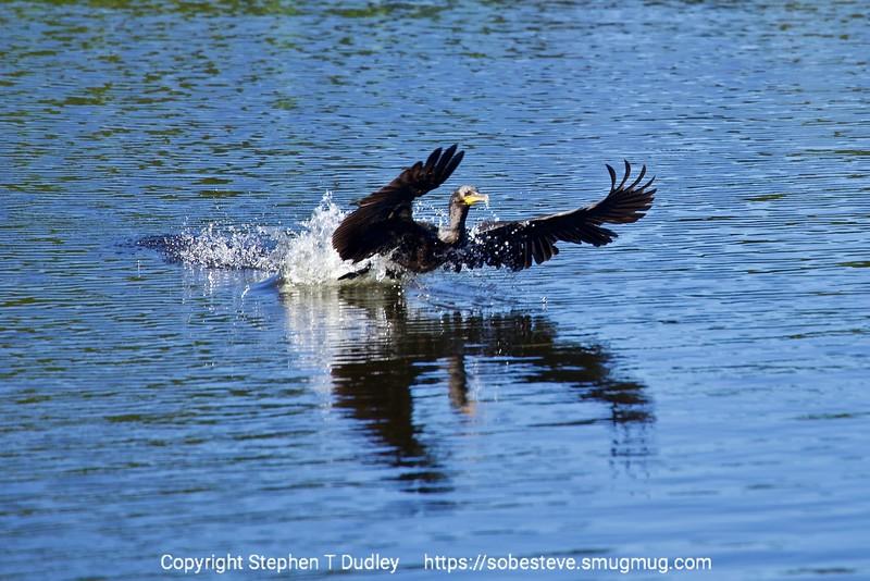 Cormorant taking-off
