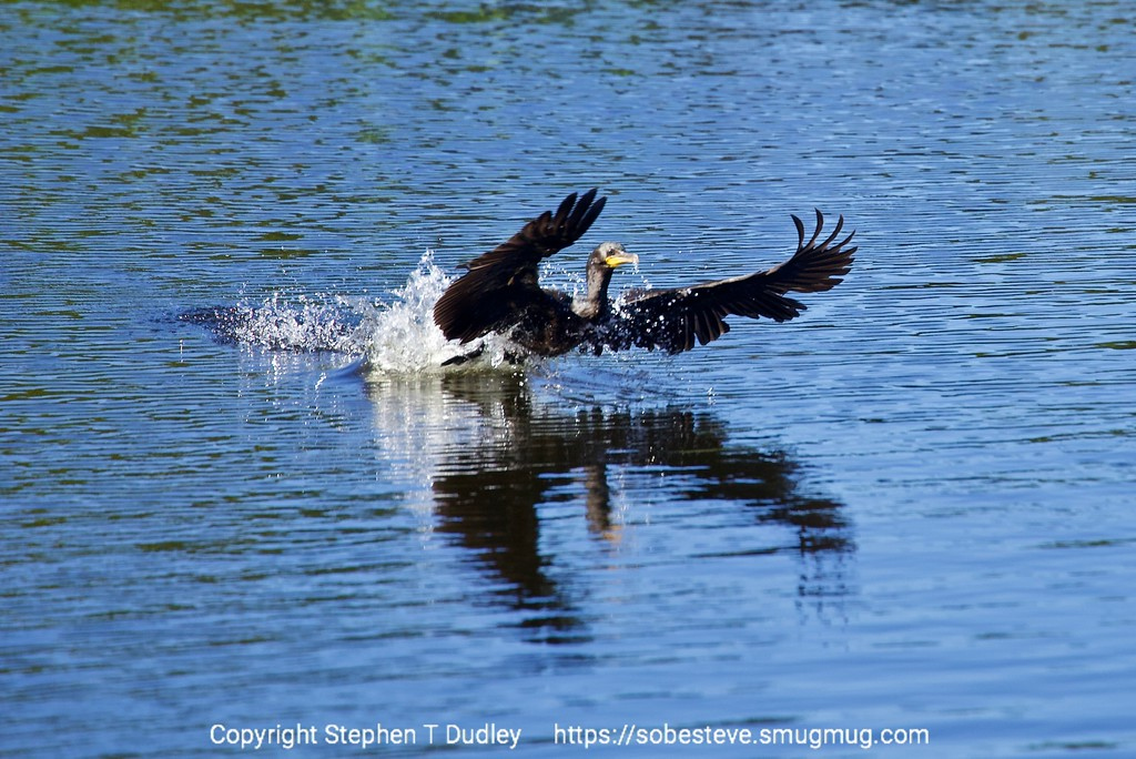 Cormorant taking-off