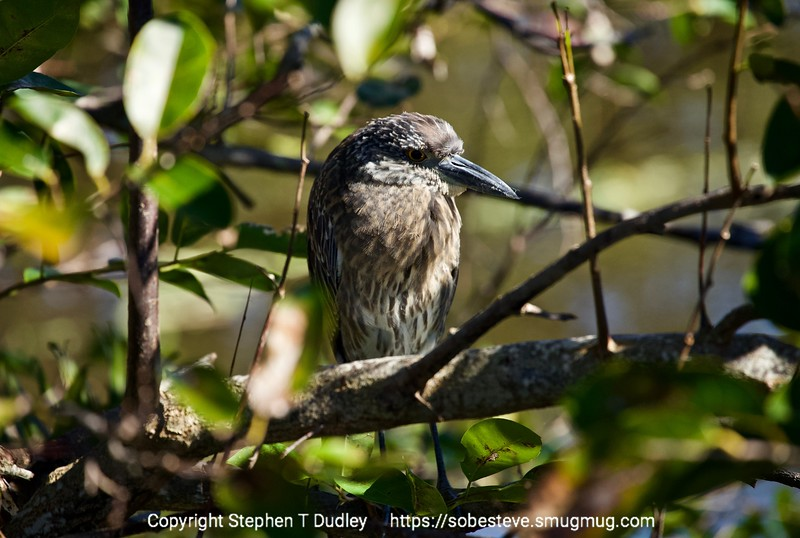 Juvenile yellow-crested night heron?