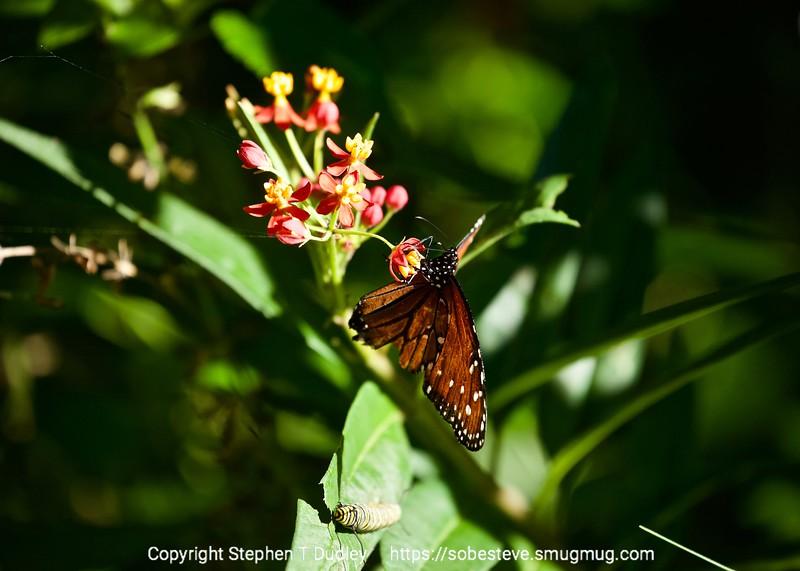 Butterfly & caterpillar