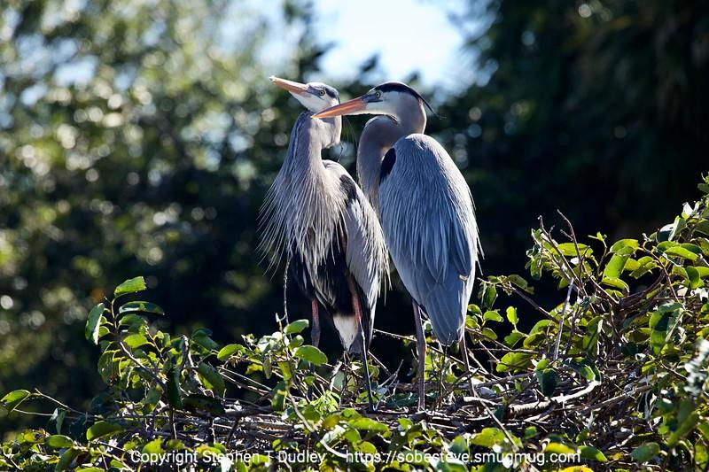 Great Blue Herons 2