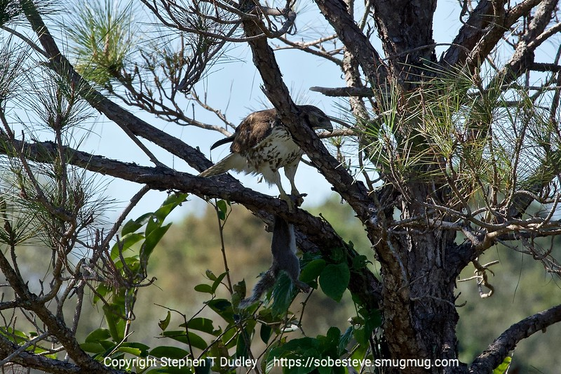 Red-tail hawk with squirrel