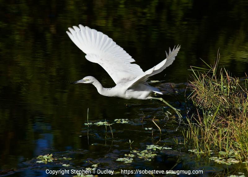Little Blue Heron taking-off