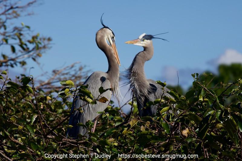 Great Blue Herons 6
