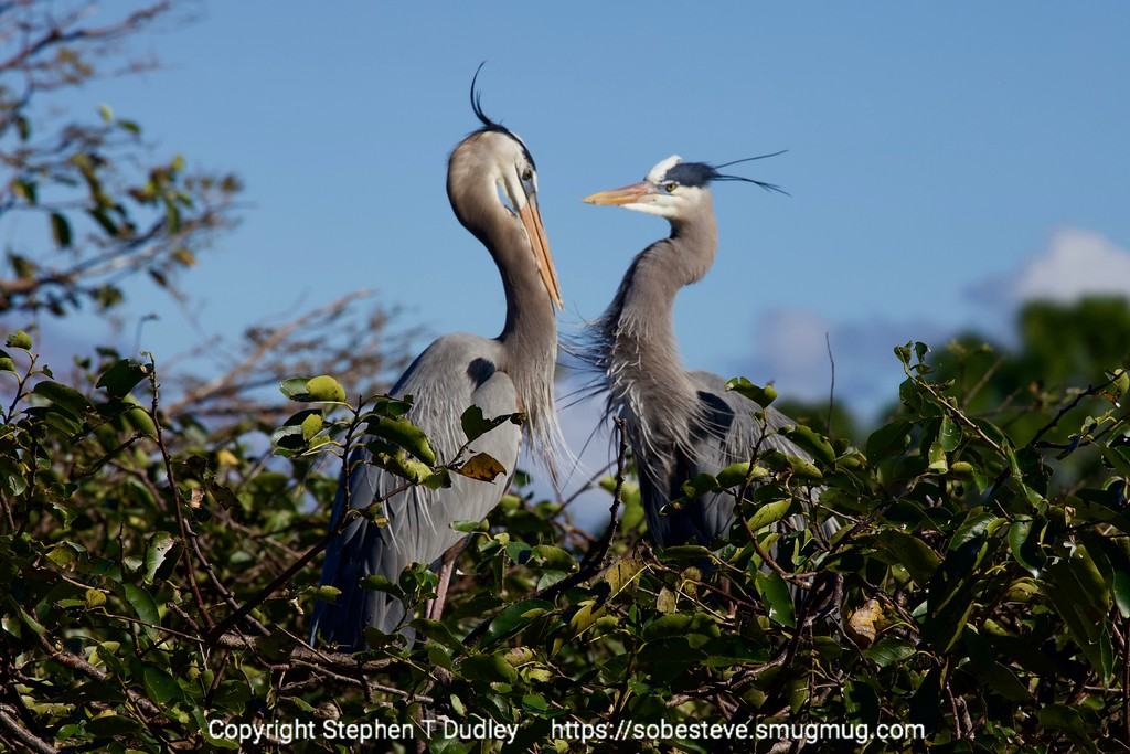 Great Blue Herons 6
