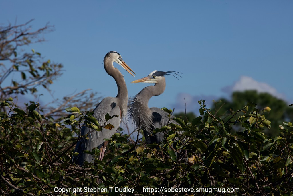 Great Blue Herons 4