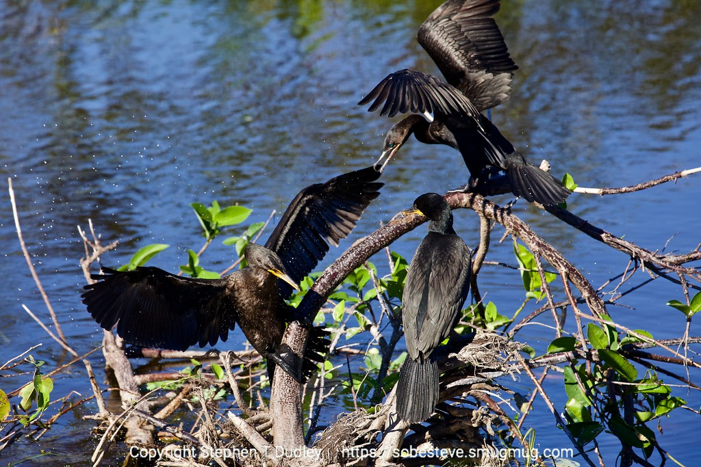 Double-crested cormorants squabbling 2