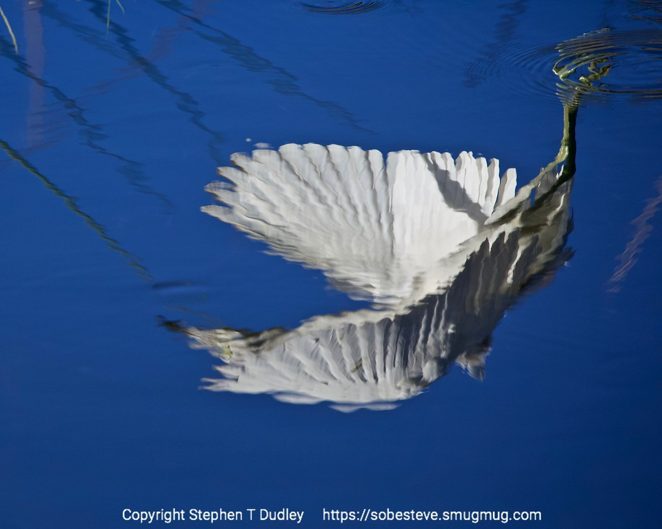 Little Blue Heron reflection