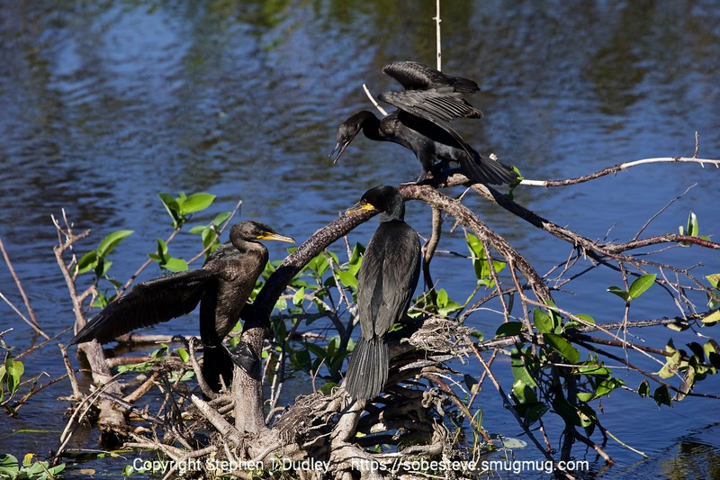 Double-crested cormorants 3