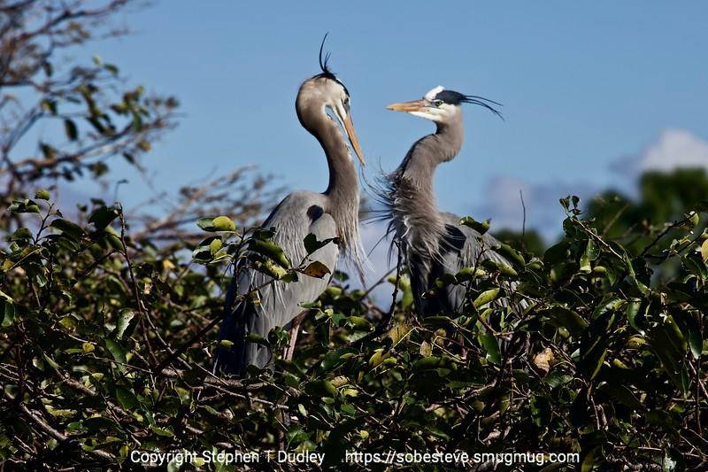 Great Blue Herons 5