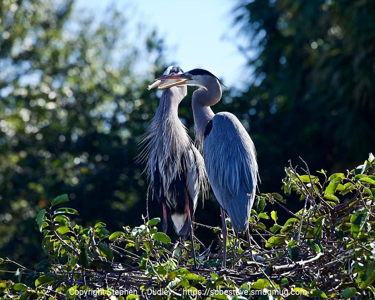 Great Blue Herons 3