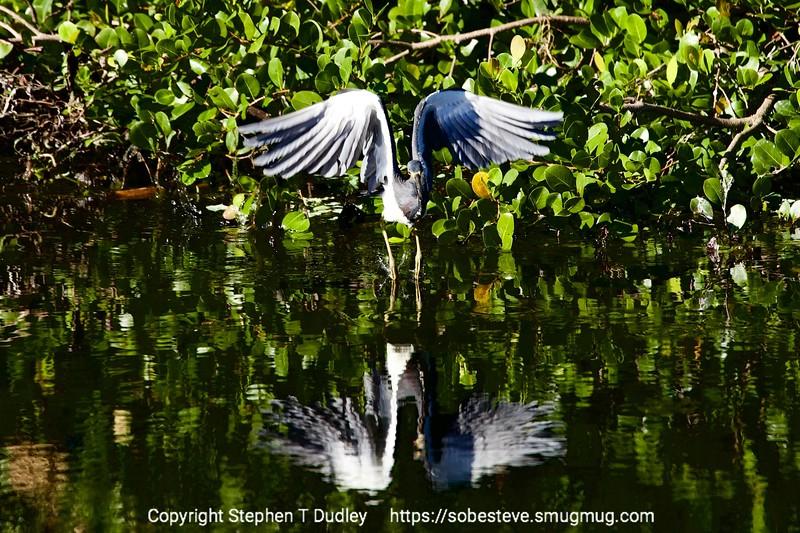 Tri-color Heron 2
