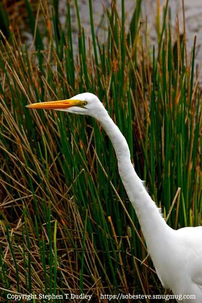 Great white egret 2