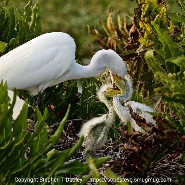 great egret & hungry chicks 2