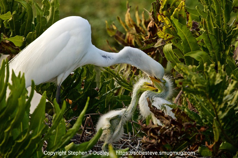 great egret & hungry chicks 4